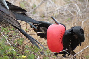 Male frigate bird (Fregata minor)