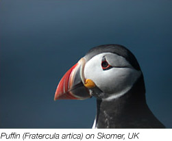 A puffin from the skomer study site