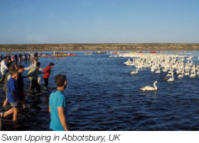 Swan Upping at Abbotsbury