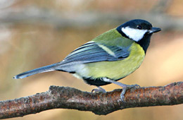 A great tit photographed by Joe Tobias