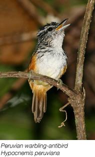 Peruvian antbird