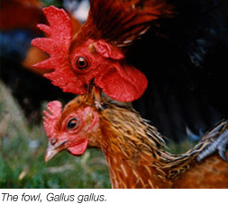 The Fowl, Gallus gallus