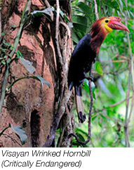 Visayan Wrinked Hornbill is critically endangered