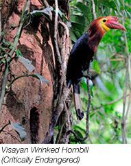 Visayan Wrinked Hornbill is critically endangered