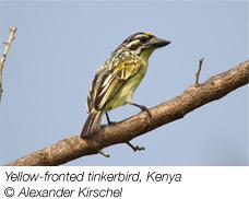 Yellow-fronted tinker bird