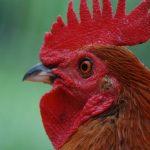 Chicken (Grant Macdonald)